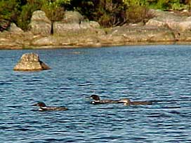 Loons on Graham Lake