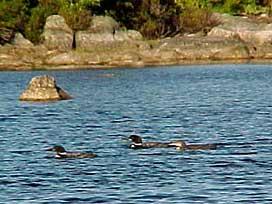 Loons on Graham Lake