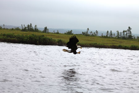 Eagle in hot pursuit of a fish